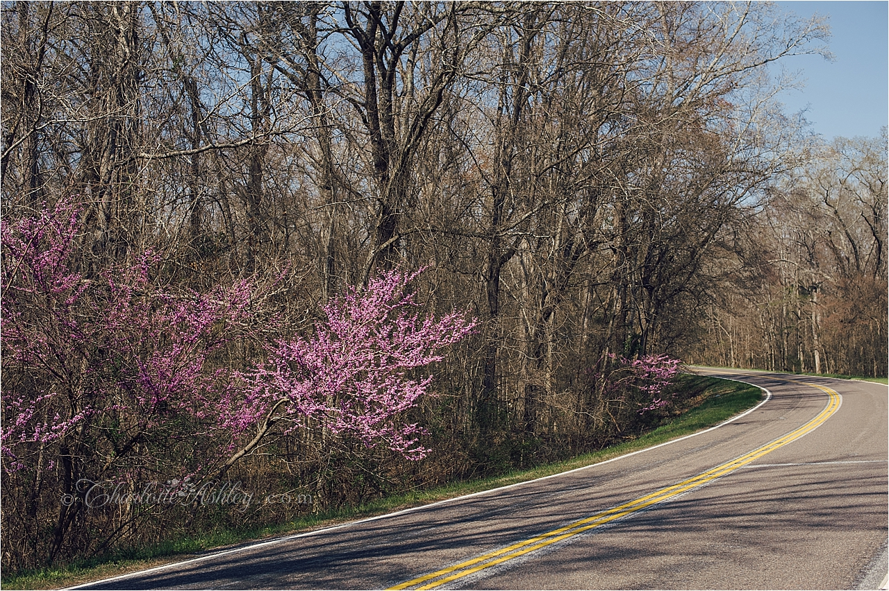 Tree of the Day– Eastern Redbud