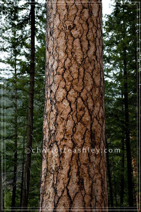 Libby Montana Ponderosa Pine