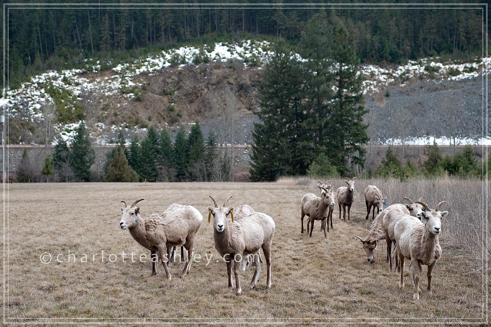 Libby Montana Big Horned Sheep