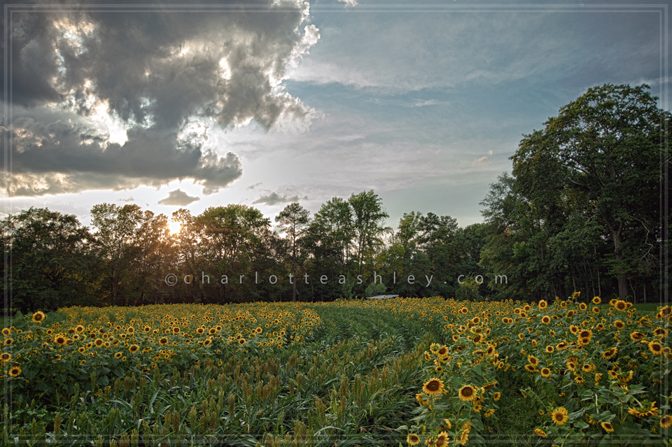 HDR Sunflowers   Charlotte Ashley Photography
